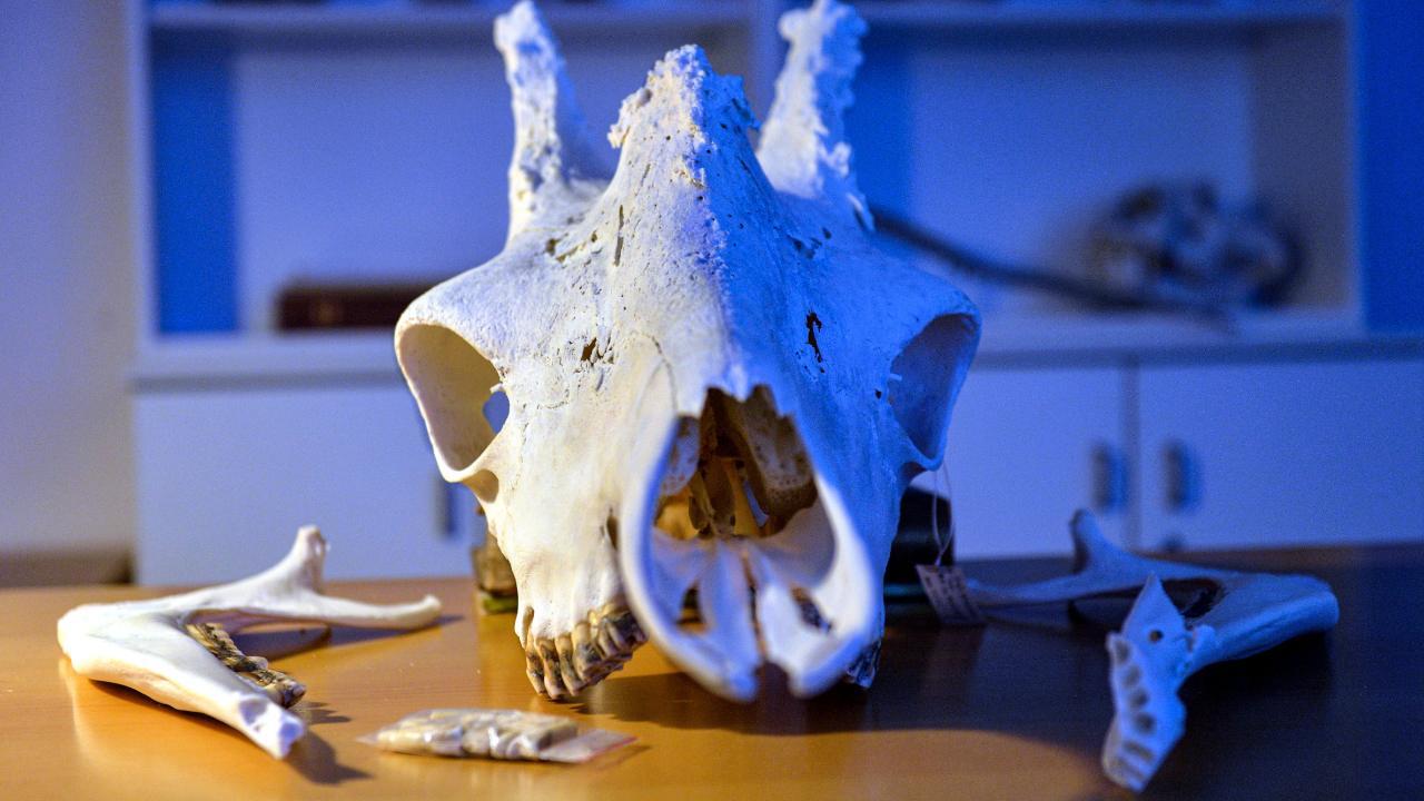 Frankfurt: Senckenberg hat den Kopf: So qualvoll starb Giraffe Hatari