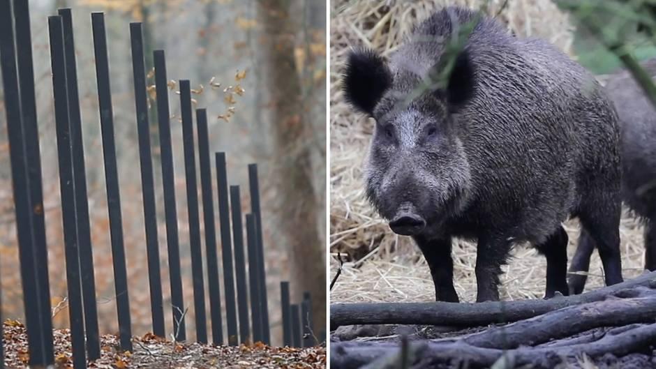 Ein Zaun in Dänemark soll ein Bollwerk zum Schutz der heimischen Schweinezucht vor der Afrikanischen Schweinepest werden.