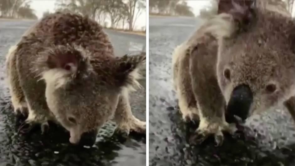 Ein Koala trinkt aus einer Pfütze