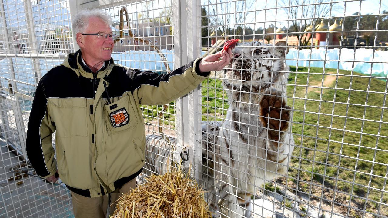 """Lieblingsspeise;: Karl-Heinz Lesker füttert Tiger """"Zorro"""" (8) mit Rindfleisch-Stückchen"""